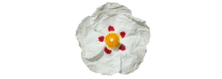 Huile essentielle de ciste ladanifère bio - MyCosmetik