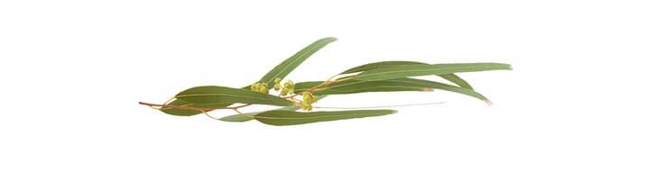 Huile essentielle d'eucalyptus globuleux