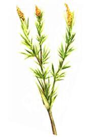 Huile essentielle de palmarosa sauvage