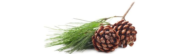 Huile essentielle de pin sylvestre sauvage