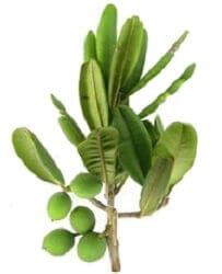 Huile végétale de pépin de calophylle
