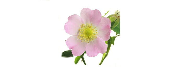 Huile végétale de rosier muscat bio