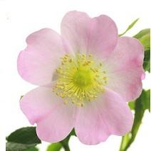 Huile végétale de rosier muscat