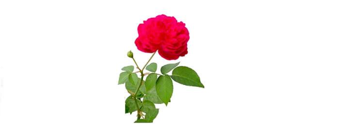 Eau de rose ou eau florale de rose.