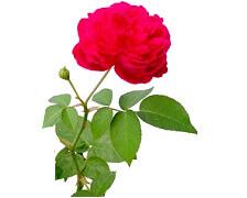 Hydrolat de rose, ingrédient cosmétique.