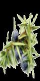 Huile essentielle de cade (Juniperus oxycedrus) :