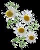 Huile essentielle de camomille romaine (Chamaemelum nobile)