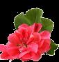 Huile essentielle de géranium Bourbon (Pelargonium graveolens var. Bourbon)