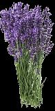 Huile essentielle de lavande fine (Lavandula angustifolia)