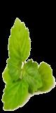 Huile essentielle de patchouli (Pogostemon cablin)