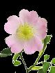 L'huile végétale de rose musquée :
