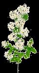 La reine des prés (Filipendula ulmaria) : Le diurétique anti-rétention d'eau