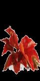 La vigne rouge :