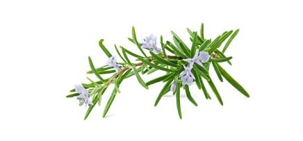 Huile essentielle de romarin verbénone bio - aromathérapie